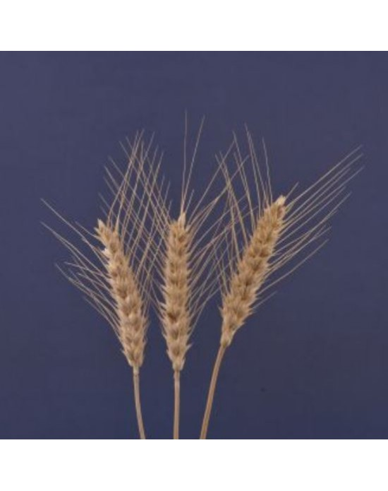 Masaccio Tohumluk Buğday